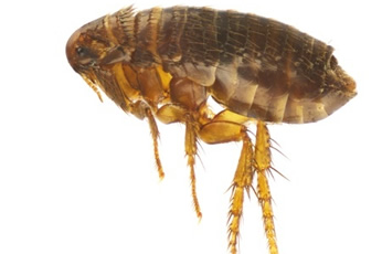 Fleas